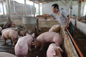 Thức ăn chăn nuôi heo - mô hình trang trại